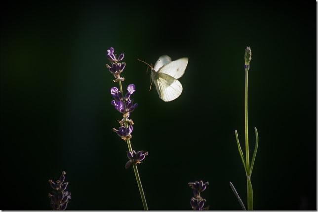 Lille kålsommerfugl